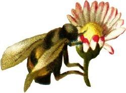 Bumblebeeflower